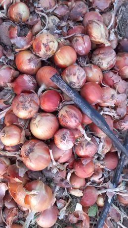 Лук продам сухой спелый лук