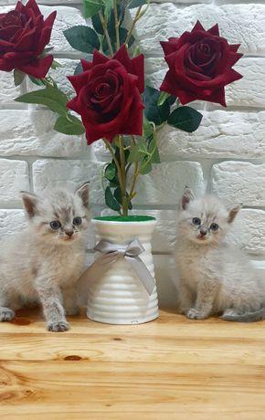 Продам шотландских Скоттиш Страйт котят