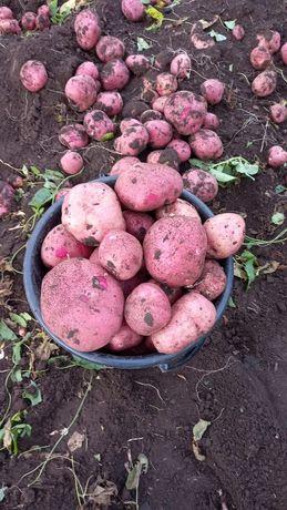Продаю Домашний картофель