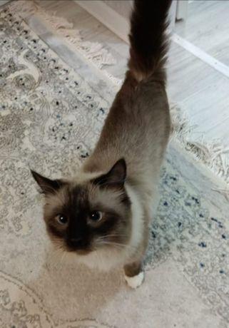 Пропал  бирманской пароды кот
