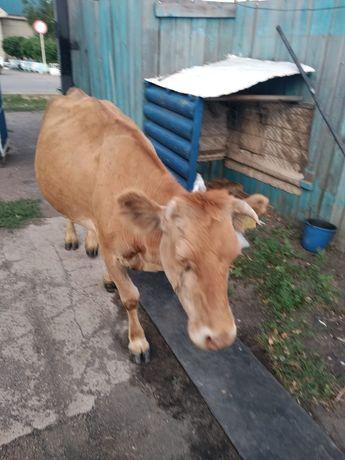 Продам дойную корову