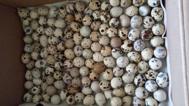 Домашние перепелиные яйца, бодене жумырткасы