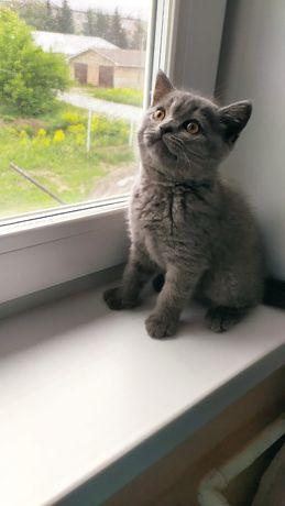 Продам котёнка (чистокровный  британец)