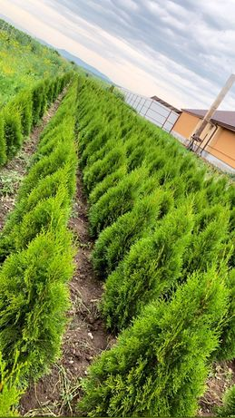 Tuia smaragd , occidentalis producție proprie pepiniera