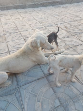 Тазы, казахская борзая собака  кумай тазы