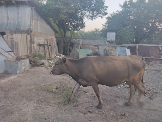 Корова стелная с Теленкам 5,ти месечным