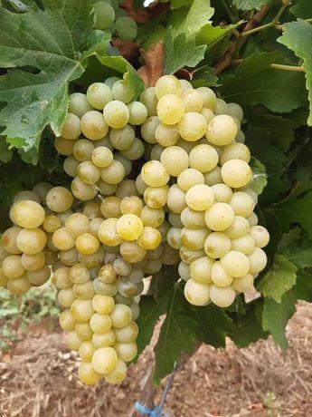 Struguri vin cele mai alese soiuri zona Vrancea, livrare in Bucuresti