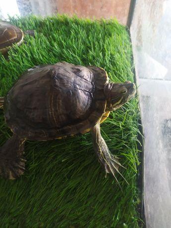 Красноухая черепаха. СРОЧНО. В СВЯЗИ С ПЕРЕЕЗДОМ