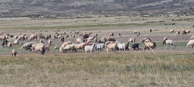 Племенные бараны, овцы, козы племенной породы Байыс