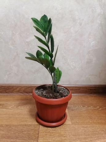 Продам Замиокулькас (Долларовое дерево)