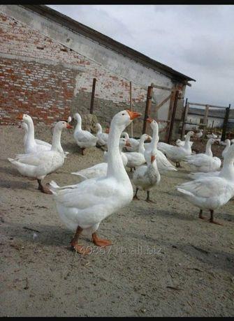 Продам домашних гусеи