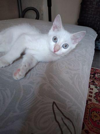 Котенок.белый мальчик