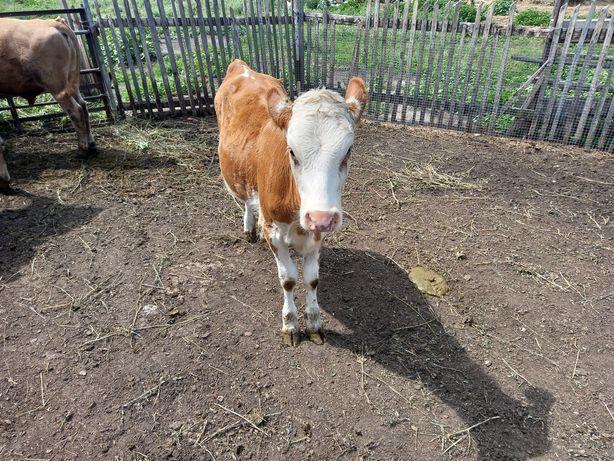 Продам 2 теленок