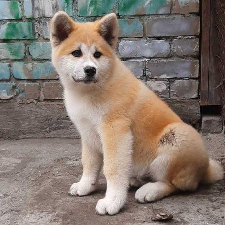 Отличный щенок акита ину