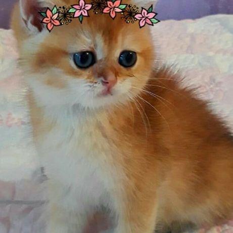 Котята голубое золото и золотые шиншиллы