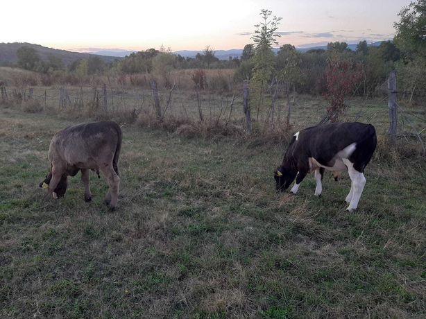 Vand vitei si vaca