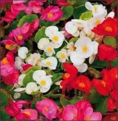 20 Seminte de Begonia semperflorens mixt culori