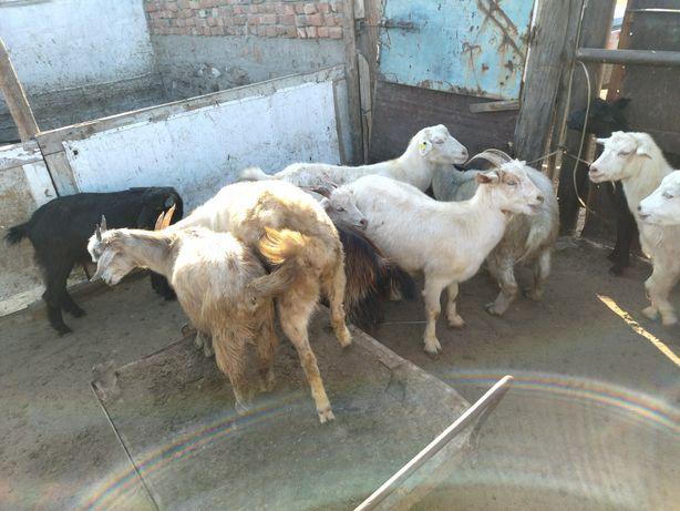 Продам коз 6 месячных