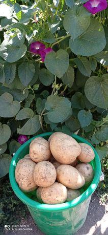 Продаю домашнюю картошку
