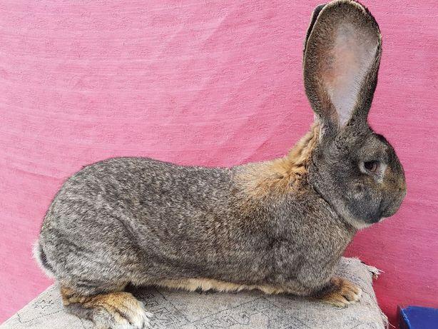 De vanzare (ocazional) iepuri de rasa pura din diverse rase si varste