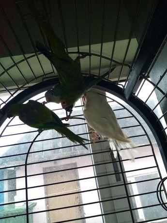 Diverse rase de papagali