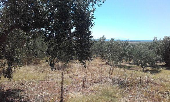 Маслинова градина от 2 дка на 2км от морето в Северна Гърция