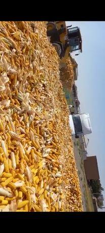 Жүгері собық, кукурузы