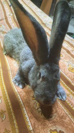 Продам кролика самца
