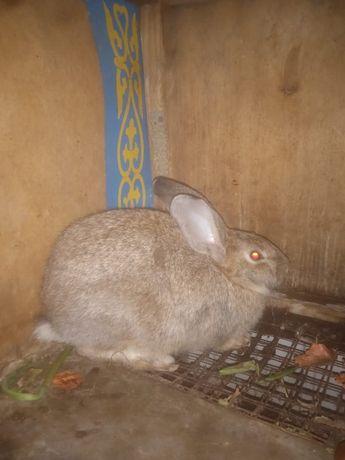 продам кроликов великаны