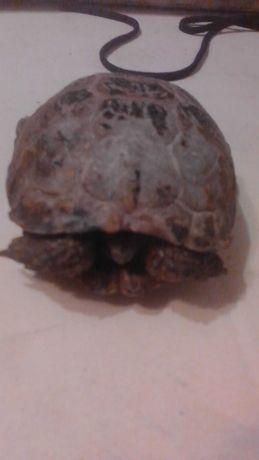 Отдам черепаху в хорошие руки почти даром
