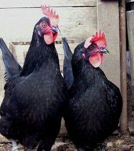 на лечения черные куры петухи доставка за отдельную плату