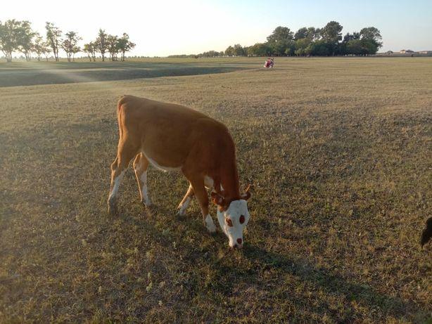 Продам теленок и коровы с теленоком бычок полторо годик