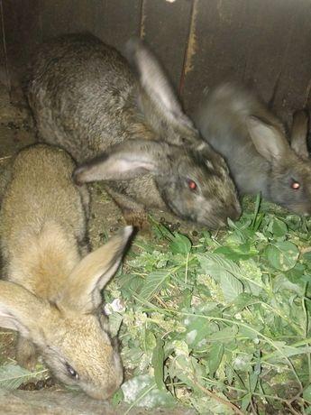 Срочно продам Крольчат