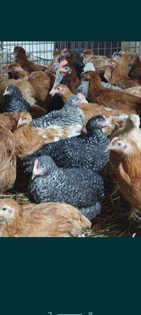 Vând pui  de carne și rasa mixta livrări la domiciliu mai multe detali
