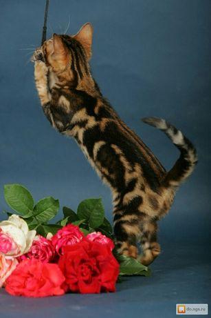 Готовы к продаже бенгальские яркие котята
