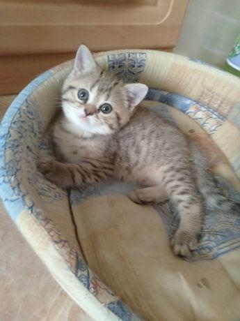 Британский котик-шиншила