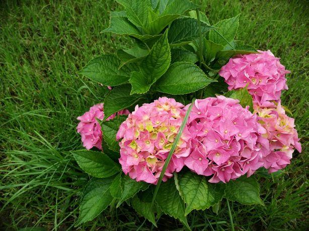 Hortensie, glicina, trandafiri, clopotei, muscate, tufenici