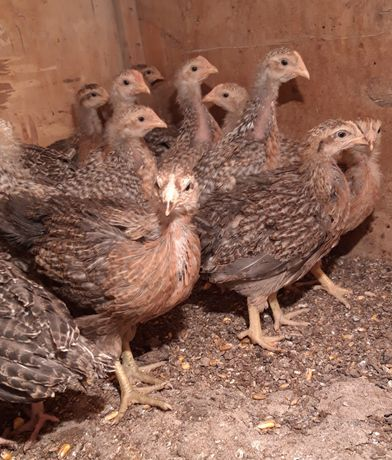 Цыплята билефельдер.