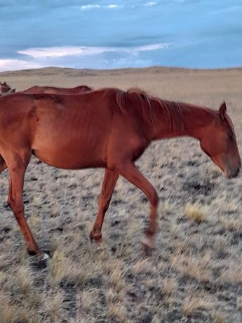 Продам лошадей.Жылкы сатам