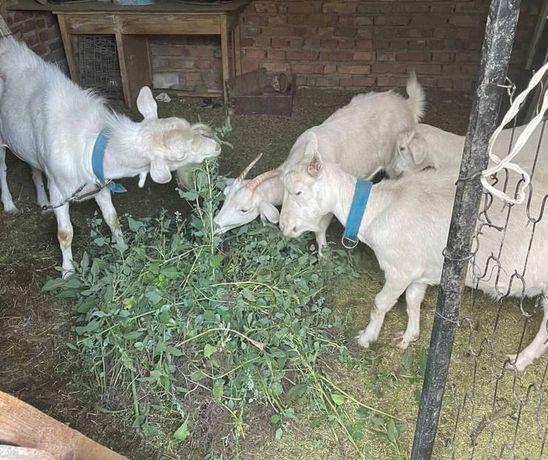 Продам Зайненских коз