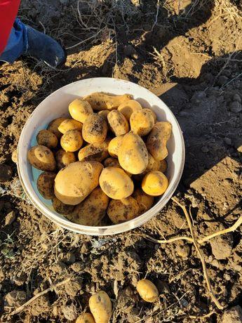 Картошка сатылады 170т