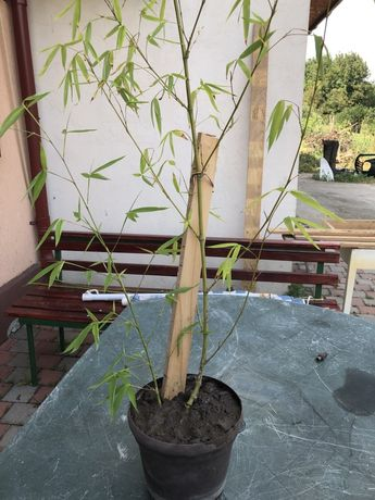 Bambus in ghiveci