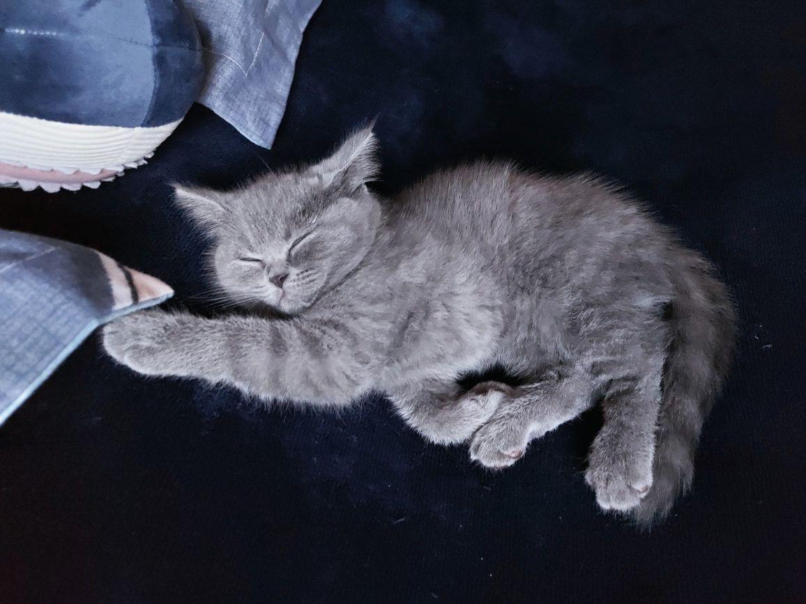 Шотландские котята с документами.