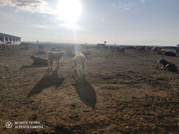 Продам дойных коров. Племенных Быков