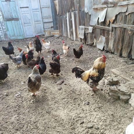 Домашние куры разных пород сами высиживают цыплят.