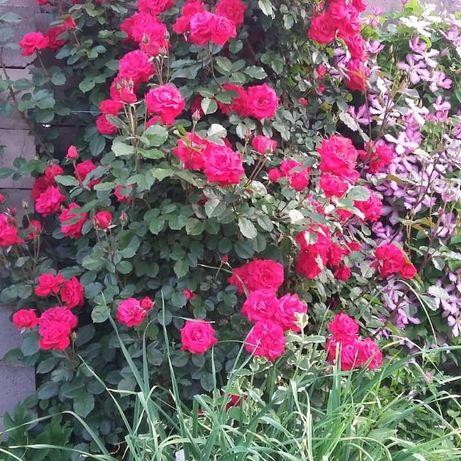 Вьющаяся английская красная роза