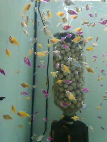 Tetra glow fish, ternezi, tetra color, ancistrusi