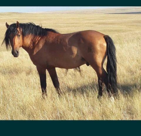 Продам лошадь тай на согым
