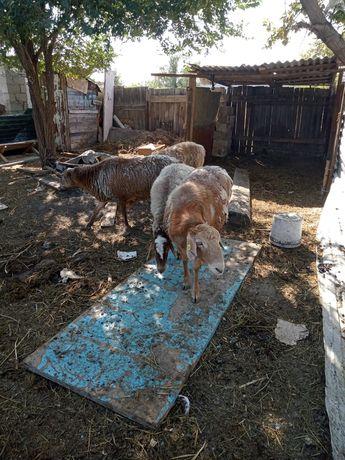 Овцы крупные на развод