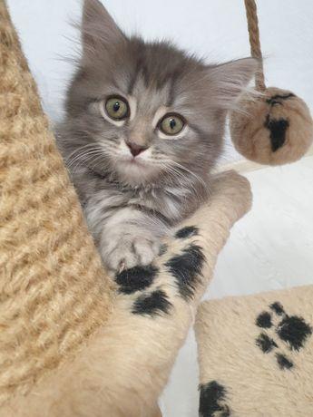 Котик мраморный породы шотландская вислоухая